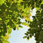 Le piante della Tenuta Colline di Zenone: il carrubo
