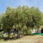 Giuseppe Ungaretti descrive i nostri alberi